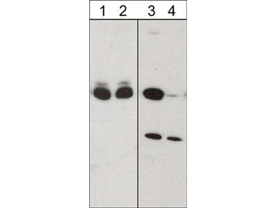CRMP2 (Ser-522), phospho-specific Antibody