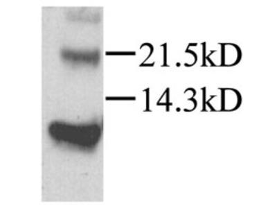 Anti-SDF1 alpha antibody