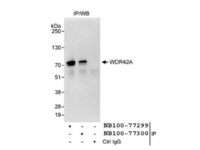 WDR42A Antibody