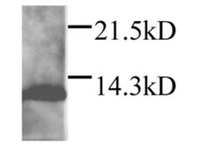 Anti-DAP12 antibody