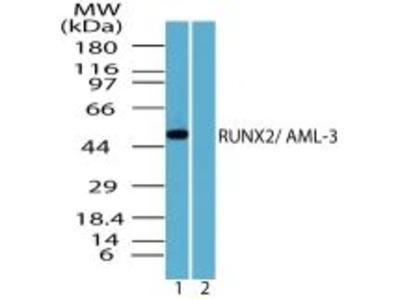 RUNX2 Polyclonal Antibody