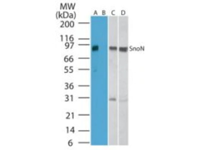 SnoN Polyclonal Antibody