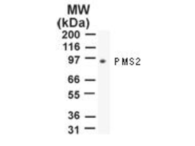 PMS2 Monoclonal Antibody (163C1251)