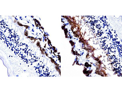 S-arrestin Monoclonal Antibody (PDS1)