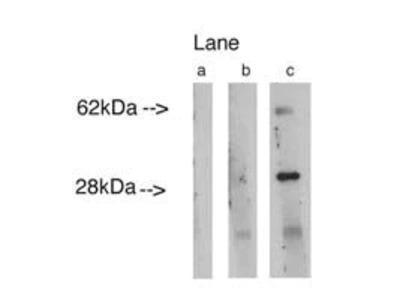 Lass4 Polyclonal Antibody