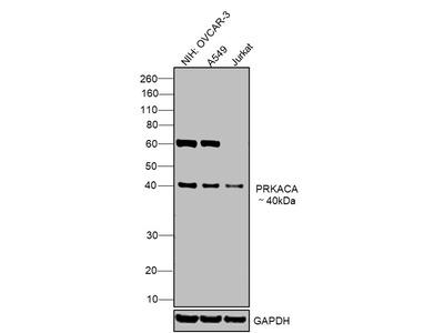PKA alpha Monoclonal Antibody (6D2.1)