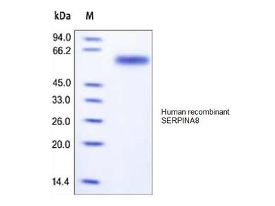 Human CellExp™ SERPIN A8, human recombinant