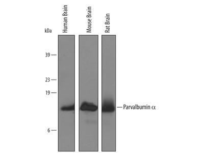 Human / Mouse / Rat Parvalbumin alpha Antibody