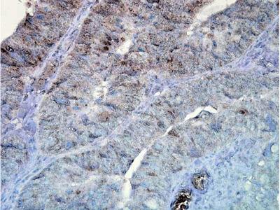 HSP90 Antibody: Streptavidin