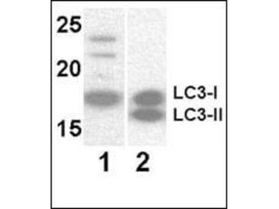 Mouse monoclonal LC3 Antibody (APG8)