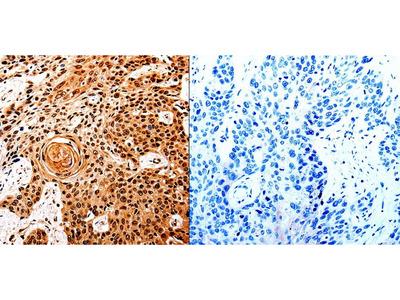Anti-UBB Rabbit Polyclonal Antibody