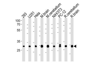 Rabbit polyclonal PITPNA Antibody (C-term)