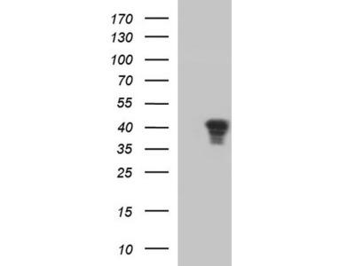 Rabbit Polyclonal JunD Antibody
