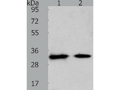 Anti-SLC25A4 Rabbit Polyclonal Antibody