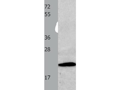 Anti-CMTM3 Rabbit Polyclonal Antibody