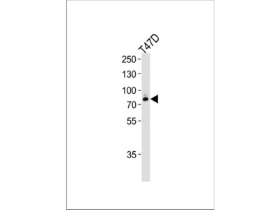 Rabbit polyclonal EXT2 Antibody (Center)