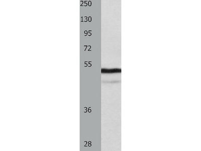 Anti-NAP1L1 Rabbit Polyclonal Antibody