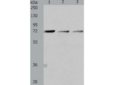 Anti-IL18RAP Rabbit Polyclonal Antibody