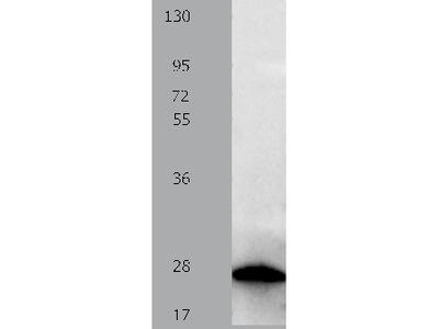 Anti-PTPRK Rabbit Polyclonal Antibody