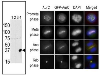 Rabbit polyclonal Aurora-C Antibody (N-term G11)