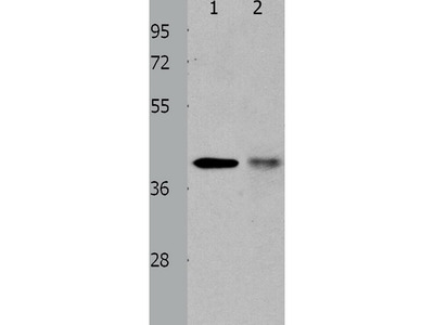 Anti-TRIM63 Rabbit Polyclonal Antibody