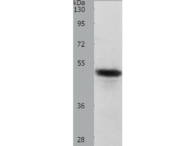 Anti-CERS2 Rabbit Polyclonal Antibody