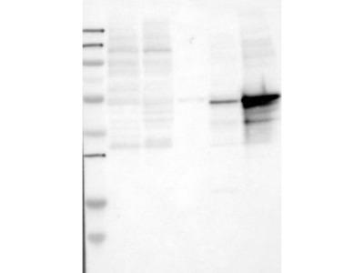 Rabbit Polyclonal LSP1 Antibody