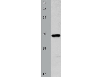 Anti-COX11 Rabbit Polyclonal Antibody