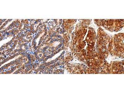 Anti-COX19 Rabbit Polyclonal Antibody