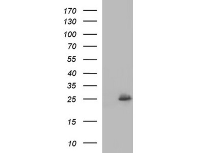 COX4NB mouse monoclonal antibody, clone OTI2A4 (formerly 2A4)
