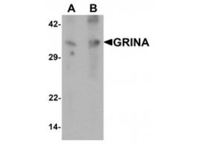 Rabbit Polyclonal GRINA Antibody