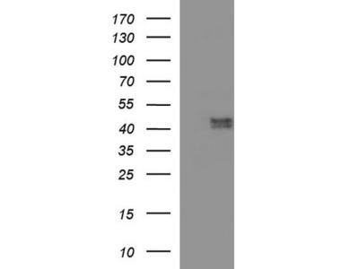 Rabbit Polyclonal PON1 Antibody