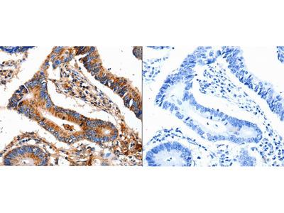 Anti-COX8A Rabbit Polyclonal Antibody