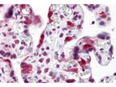 Rabbit Polyclonal LZTS2 Antibody