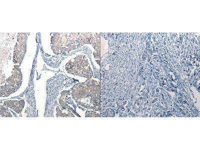 Anti-Ccl6 Rabbit Polyclonal Antibody
