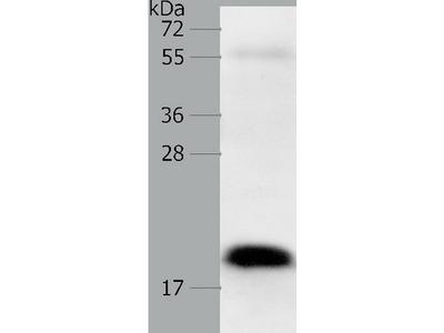 Anti-PTN Rabbit Polyclonal Antibody