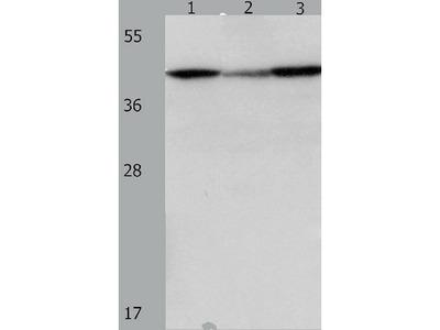 Anti-DAP3 Rabbit Polyclonal Antibody