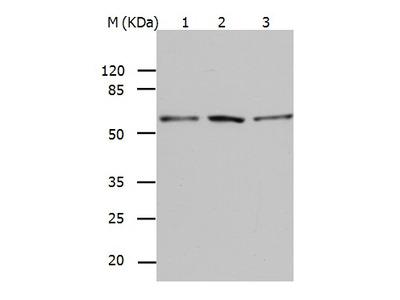 Anti-BAG5 Rabbit Polyclonal Antibody
