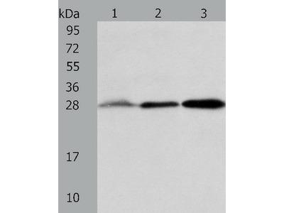 Anti-ALKBH2 Rabbit Polyclonal Antibody