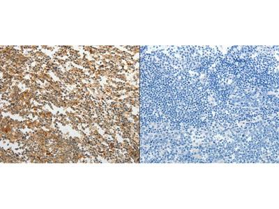 Anti-TMSB10 Rabbit Polyclonal Antibody