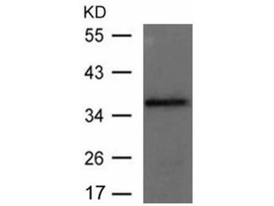 Anti-GFI1B Rabbit Polyclonal Antibody