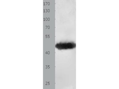 Anti-MAT1A Rabbit Polyclonal Antibody