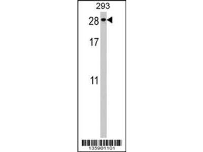 Rabbit polyclonal PTTG2 Antibody (Center)