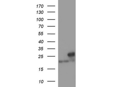 LZIC mouse monoclonal antibody, clone OTI3A7 (formerly 3A7)