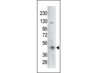 Rabbit polyclonal Bi-Phospho-GSK3B(S21/29) Antibody