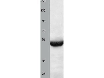 Anti-BPIFB3 Rabbit Polyclonal Antibody