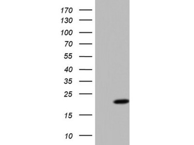 Carrier-free (BSA/glycerol-free) PPIL1 mouse monoclonal antibody, clone OTI2D1 (formerly 2D1)