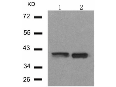 Anti-MAPK14 Rabbit Polyclonal Antibody