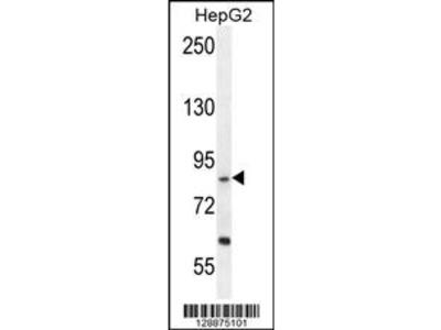 Rabbit polyclonal EXOC3L Antibody (C-term)