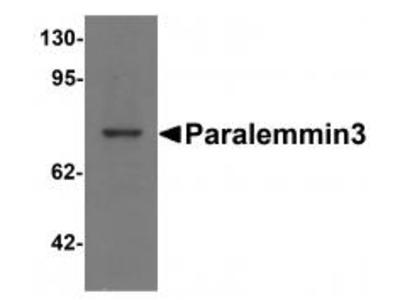Rabbit Polyclonal Paralemmin3 Antibody